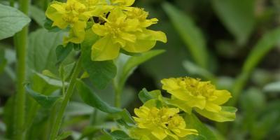 Rośliny niebezpieczne dla człowieka w polskiej florze