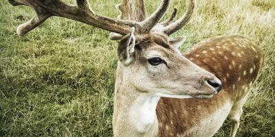 Regeneracyjne właściwości rogów jelenia przydatne w medycynie