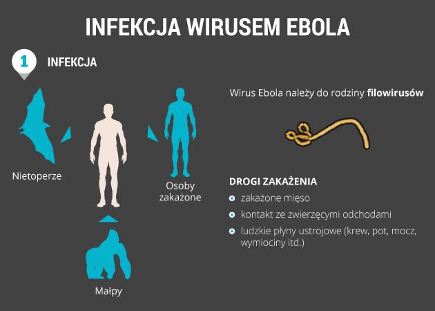 infografika - infekcja wirusem ebola