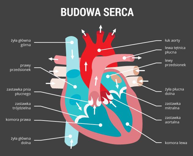 infografika - budowa serca