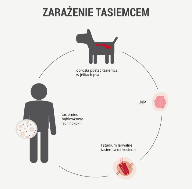 infografika - zagrożenie tasiemcem